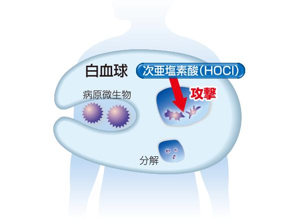 次亜塩素酸の安全性について - 我々人間の体内でも発生している